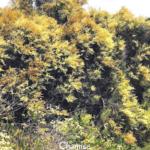 Chamise bush temecula pechanga creek