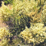 Chamise plant temecula southern california native plants