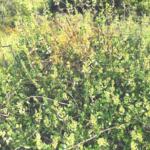 Chaparral honeysuckle temecula creek inn trail