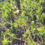 Chaparral honeysuckle vine southern california native plants