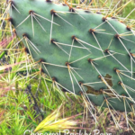Chaparral prickly pear cactus may 2020