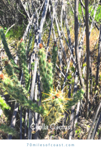 Cholla 2020 southern california native plants