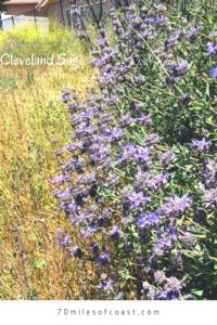 Cleveland Sage plant pechanga creek