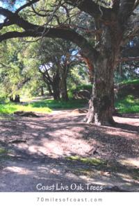 coast live oak trees temecula pechanga creek