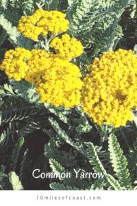 Common Yarrow san diego native plants