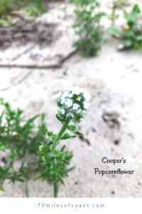 Coopers popcornflowers temecula pechanga creek
