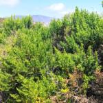 coyote bush san diego native plants
