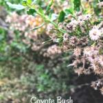Coyote Bush Flowers southern california native plants
