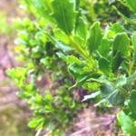Coyote bush leaves family asteraceae