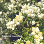 cudweed flowers san diego native plants