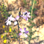 Deans Staphanomeria flower temecula creek inn
