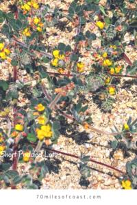 Deer vetch lotus prostrate flowers