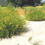 Deerweed bushes pechanga creek temecula