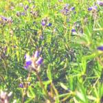 Dove lupine southern california native plants