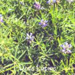 dove lupine flowers temecula pechanga creek