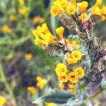 Fiddleneck flower yellow green leaves