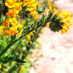 fiddleneck flowers southern california native plants