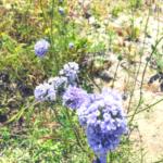 Gilia capitata southern california native plants