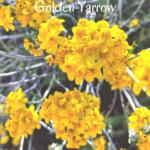 Golden yarrow yellow flowers
