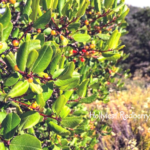Hollyleaf redberry southern california native plants