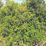 hollyleaf redberry bush temecula chaparral