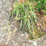 lady fingers serpentine endemic california native