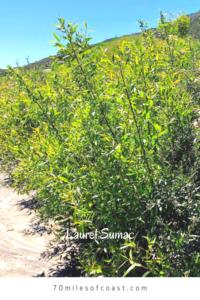 Laurel sumac bush Pechanga creek edge