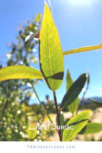 Laurel sumac leaf southern california native plants