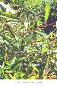 Laurel sumac leaves temecula May 2020