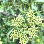 Mexican elderberry flower pods temecula
