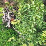 Mexican elderberry tree temecula creek inn trail