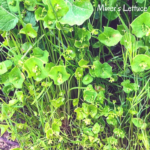 Miners lettuce flowers temecual creek inn trail