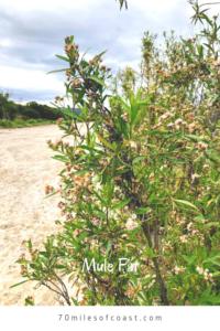 Mule Fat Plant Pechanga Creek