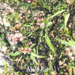 Mule Fat Temecula Southern California Native Plants
