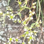 Old Lady Finger Flowers Temecula Creek Inn Trail