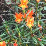 orange monkey flower temecula june 28