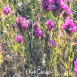 Owl Clover southern california native plants