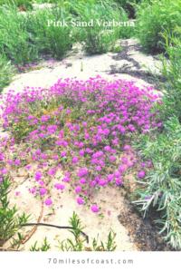pink sand verbena temecula CA