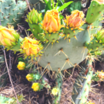 Prickly pear flower southern california native plants