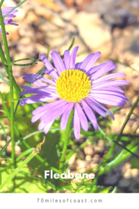 Purple fleabane flower temecula california