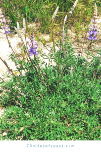 purple lupine temecula April 2020