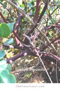 Rainbow Manzanita Red trunk southern california native plants