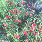 Red Monkey Flower southern california native plants