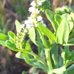 Salt Heliotrope southern california native plants