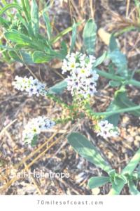 Salt heliotrope temecula southern california