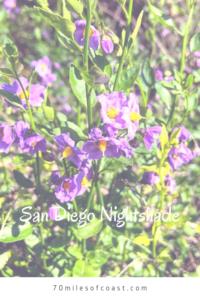 San Diego Nightshade flowers temecula pechanga creek