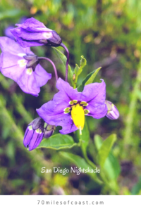 San Diego Nightshade flowers temecula creek inn trail