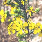 San Diego tarweed yellow san diego native plants