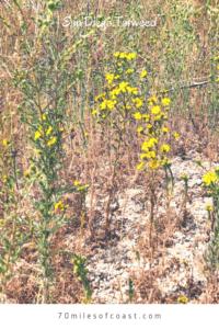 San Diego Tarweed temecula san diego native plants