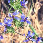 Sapphire woollystar southern california native plants